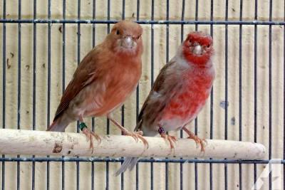 Canarini in gabbia, sono ottimi animali domestici da compagnia.
