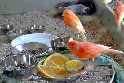 Canarini che mangiano arancia e uovo durante la muta.
