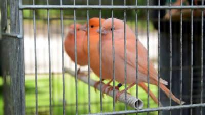 Canarini rossi in una gabbia.