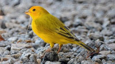 Canarino domestico giallo.