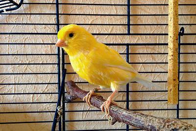 Canarino Harz o Harzer di colore giallo.