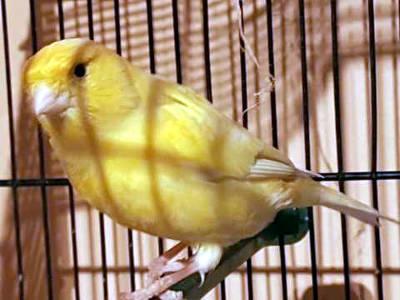 Un canarino giallo probabilmente di razza Malinois.