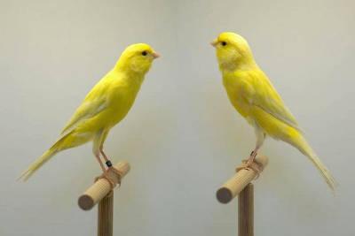 Una coppia di canarini Bernois.