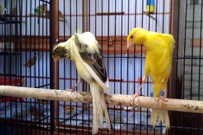 Una coppia di canarini Bossu in gabbia.