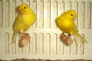 Canarini da canto Malinois di colore giallo in gabbia.