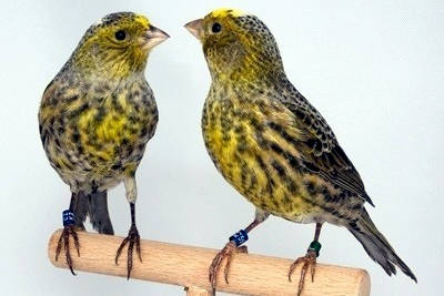 Una coppia di bellissimi canarini Lizard.