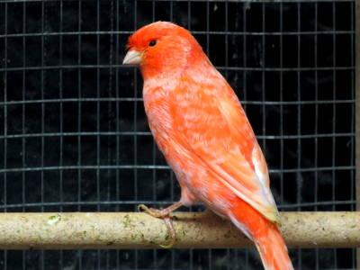 Canarino avorio a fattore rosso.
