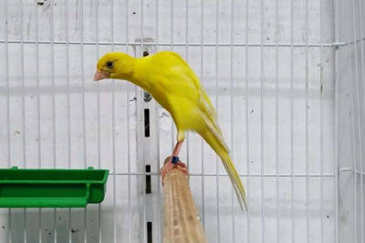 Il canarino Bossu belga.