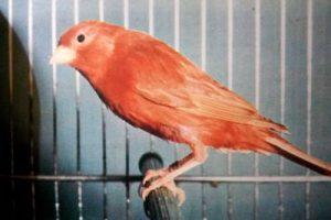 Canarino bruno a fattore rosso.