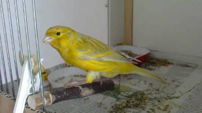 Canarino sassone di colore giallo Agata.