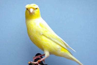 Un canarino Lancashire coppy.