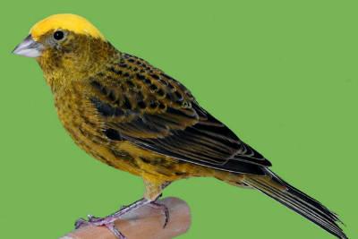 Il canarino Lizard, una razza inglese molto antica.