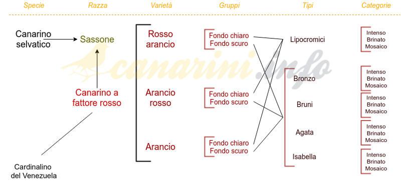 Classificazione dei Canarini a fattore rosso.