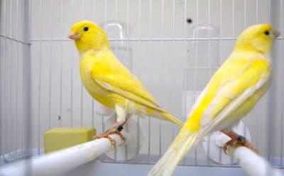 Due bei canarini da canto Malinois con piume gialle e bianche.