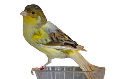 Il canarino Timbrado, splendido uccellino della Spagna.