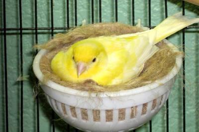 Canarina che cova le uova nel nido.