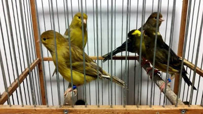 Alcuni canarini in gabbia prima della riproduzione.