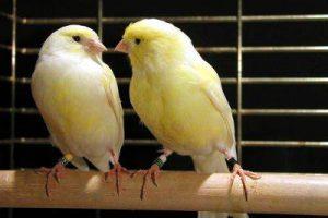 Una coppia di canarini in amore.