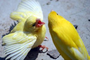 Il corteggiamento dei canarini in amore.