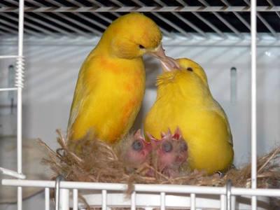 Una nuova famiglia di canarini con i pulcini appena nati.